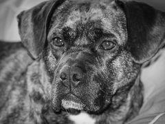 Hunde Portrait in Monochrom ;-)