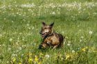 Hundeoma mit fliegenden Ohren