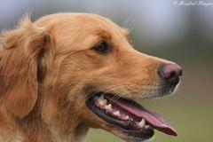 Hundeportrait - Golden Retriever