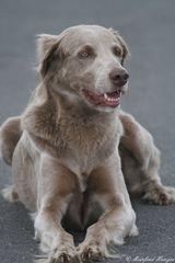 Hundeportrait - Waimaraner