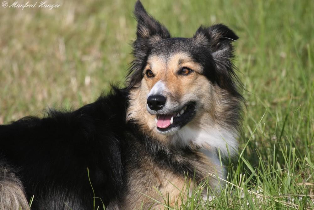 Hundeprotrait im Gras liegend