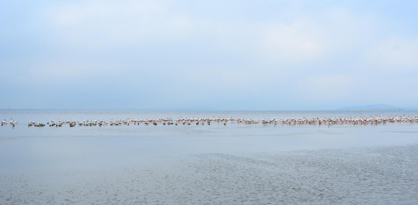 Hunderte Flamingos, hundreds of flamingos, Cientos de flamencos