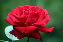 """Hunderttausend Rosen"""