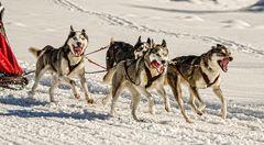 Hundeschlittenrennen - Inzell