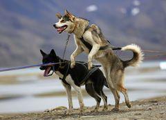 Hundeschlittentour IV