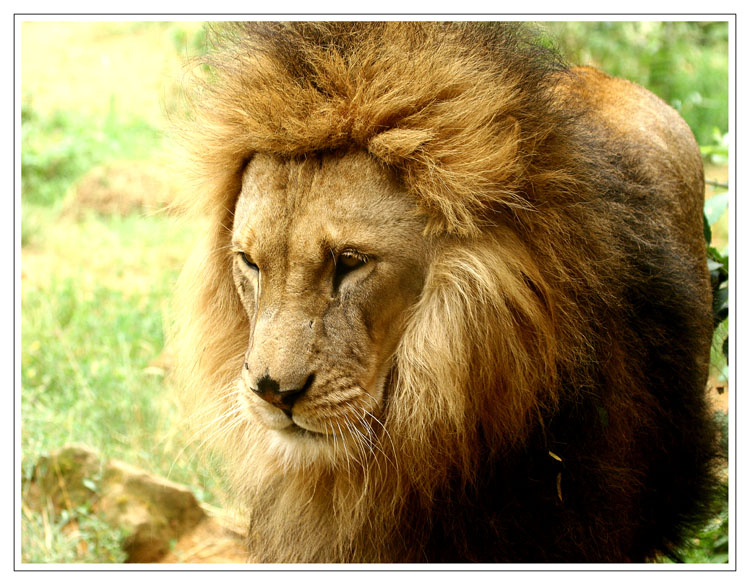 Hundstage für Löwen