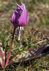 Hundszahnlilie mit Biene im Anflug!
