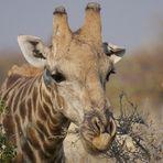 Hunger wie sonne Giraffe!