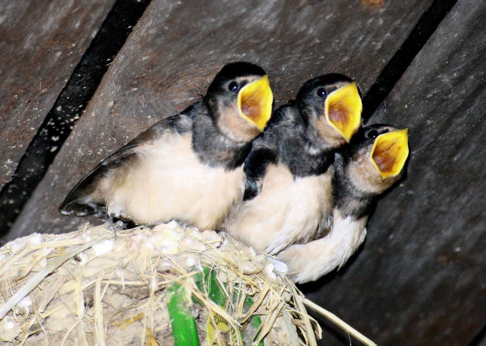 Hungrige aber unscharfe Vogelwelpen