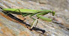 Hungrige Europäische Gottesanbeterin (Mantis religiosa) - La mante religieuse.