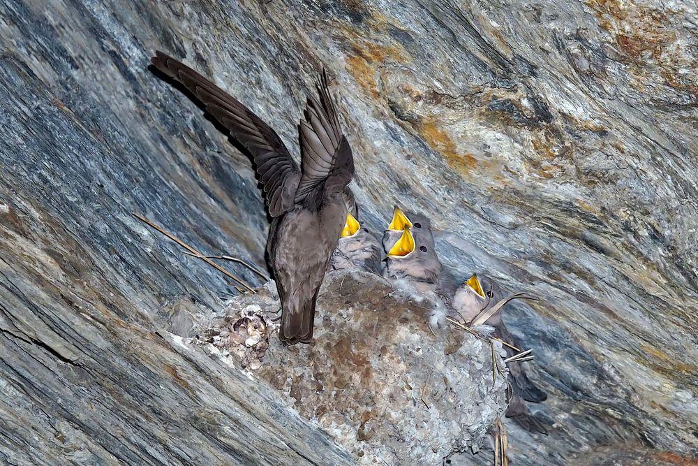 Hungrige junge Felsenschwalben (Ptyonoprogne rupestris) - Un nid d'hirondelles des rochers.