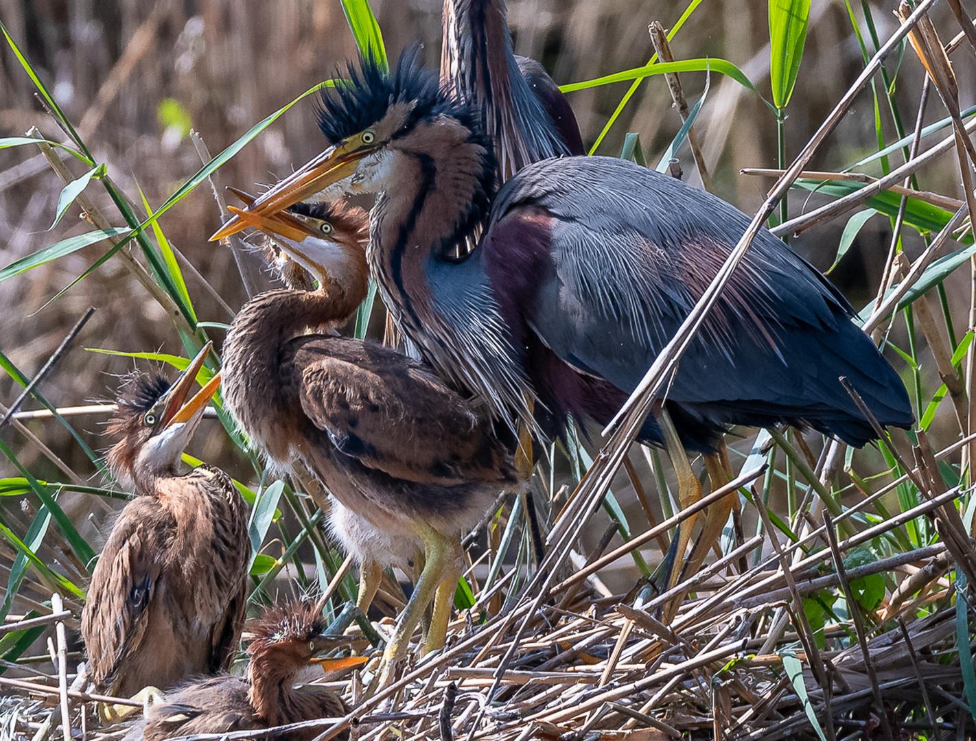 Hungrige Jungvögel bei den Purpurreihern