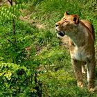 Hungrige Löwin ...