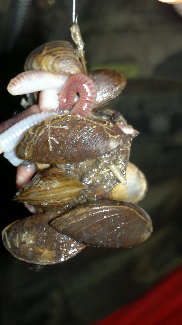 hungrige Muscheln beim Angeln