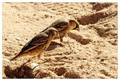 Hungrige Siedelwebervögel