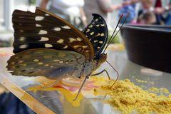 hungriger Schmetterling