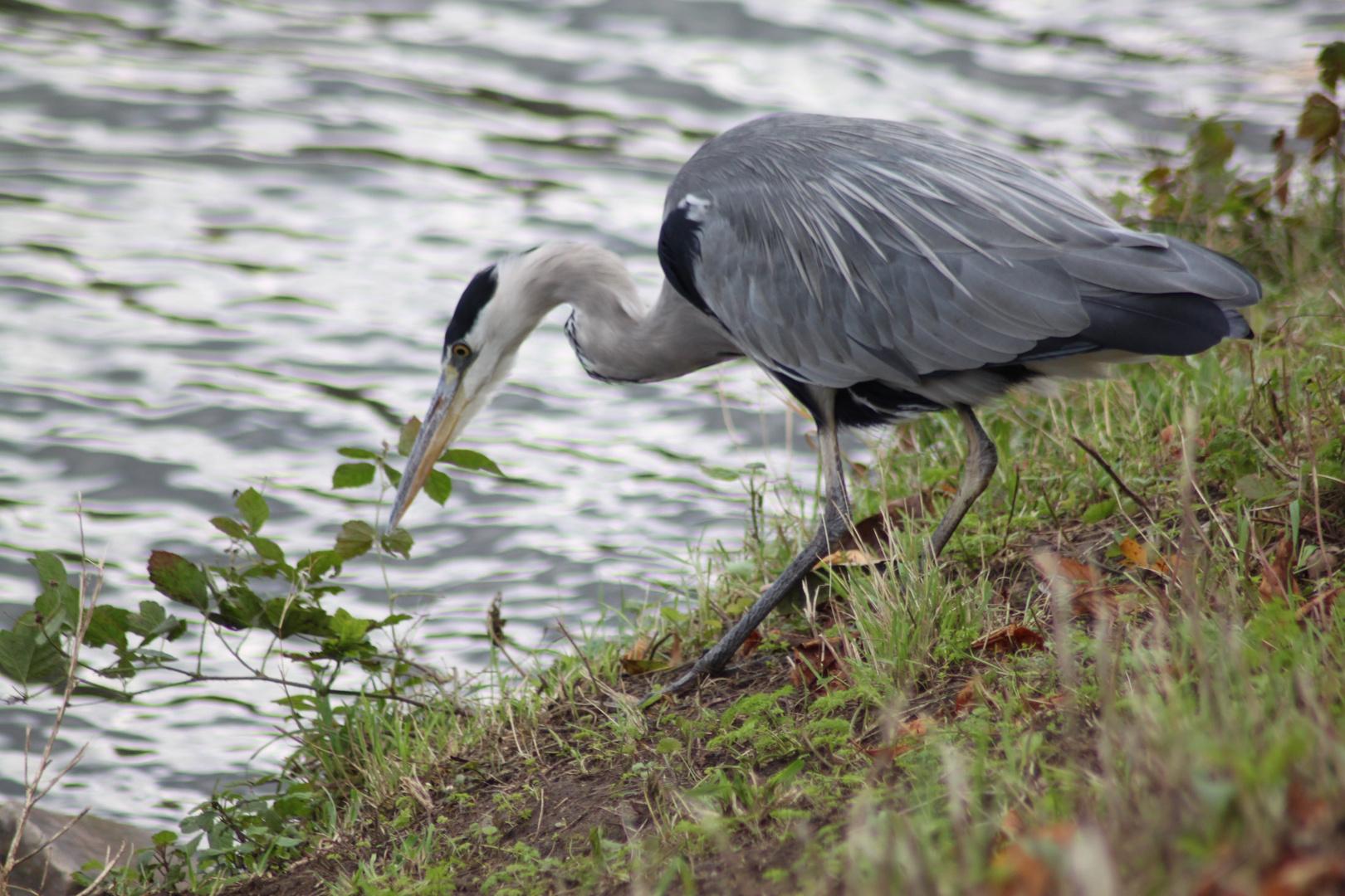 Hungry Grey Heron