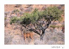 hungry Kudu
