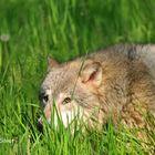Hunting Alpha Wolf