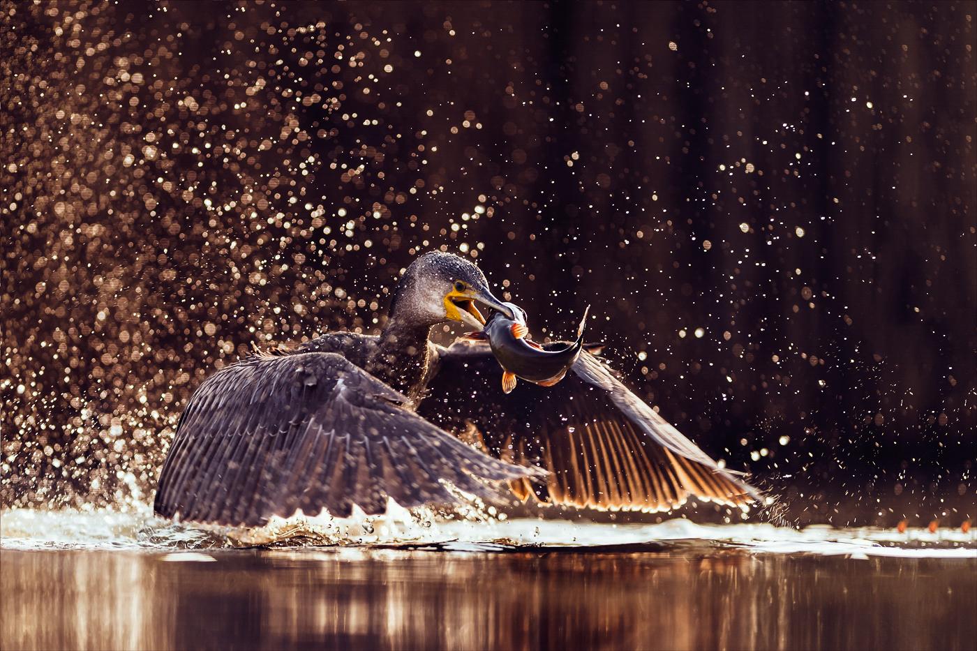 Hunting Cormorand