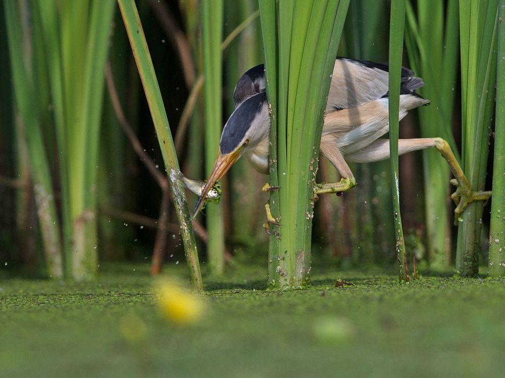 hunting reed