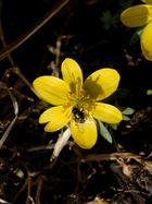 Hurra der Frühling ist da: Die Winterlinge blühen