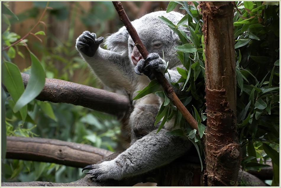 """Hurra ich habs geschafft """"Koala mit Nachwuchs"""""""