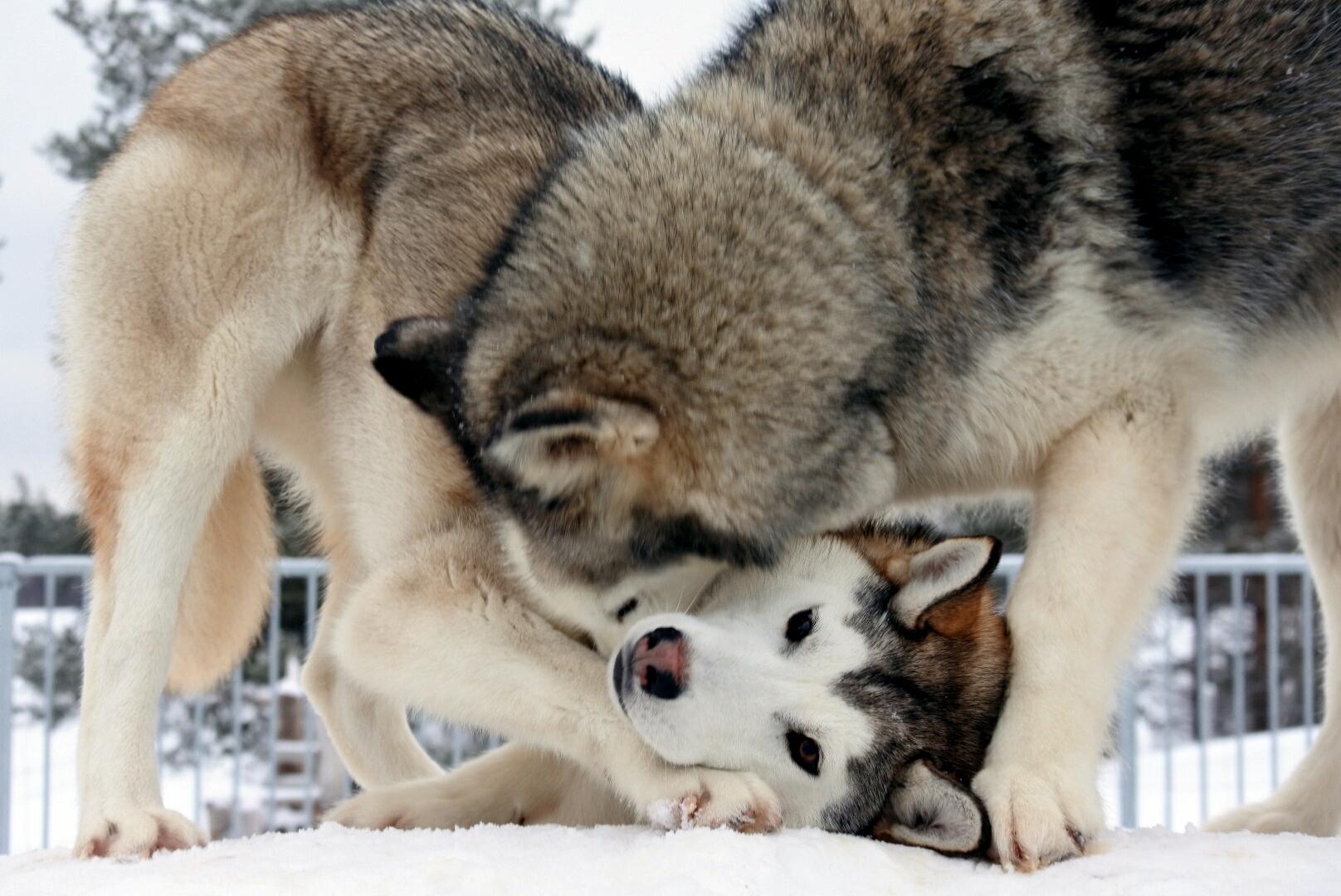 Husky Spiele