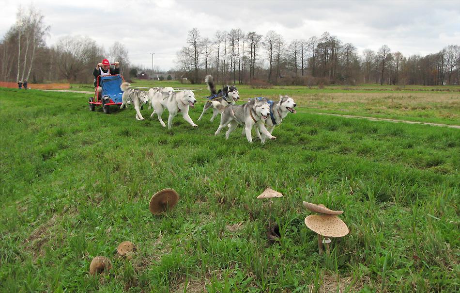 Huskies im Spreewald