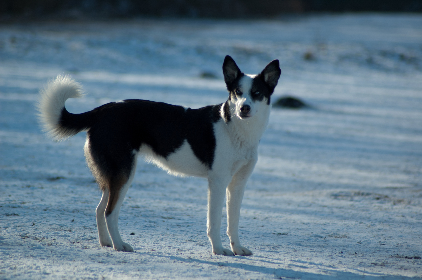 Husky-Border-Collie-Mix 2