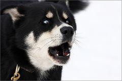Husky - Gebell