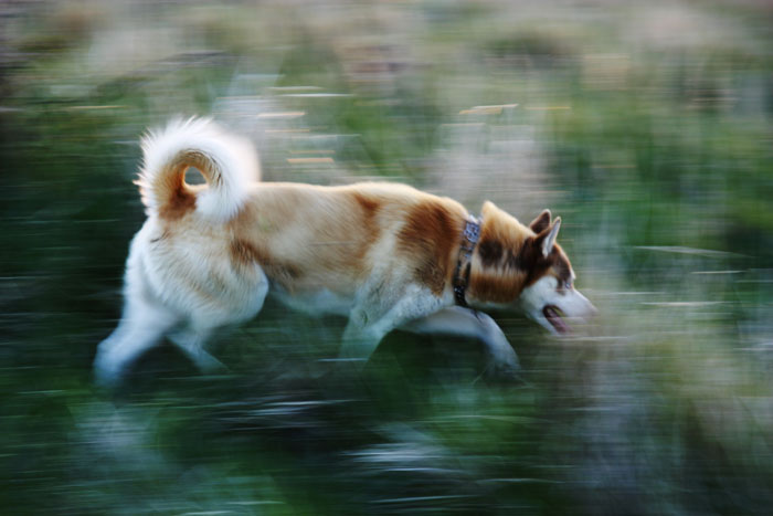husky on the move