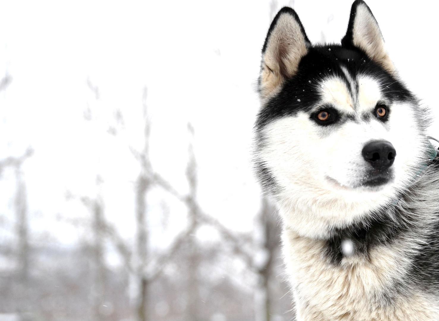 Husky Portrait (2)
