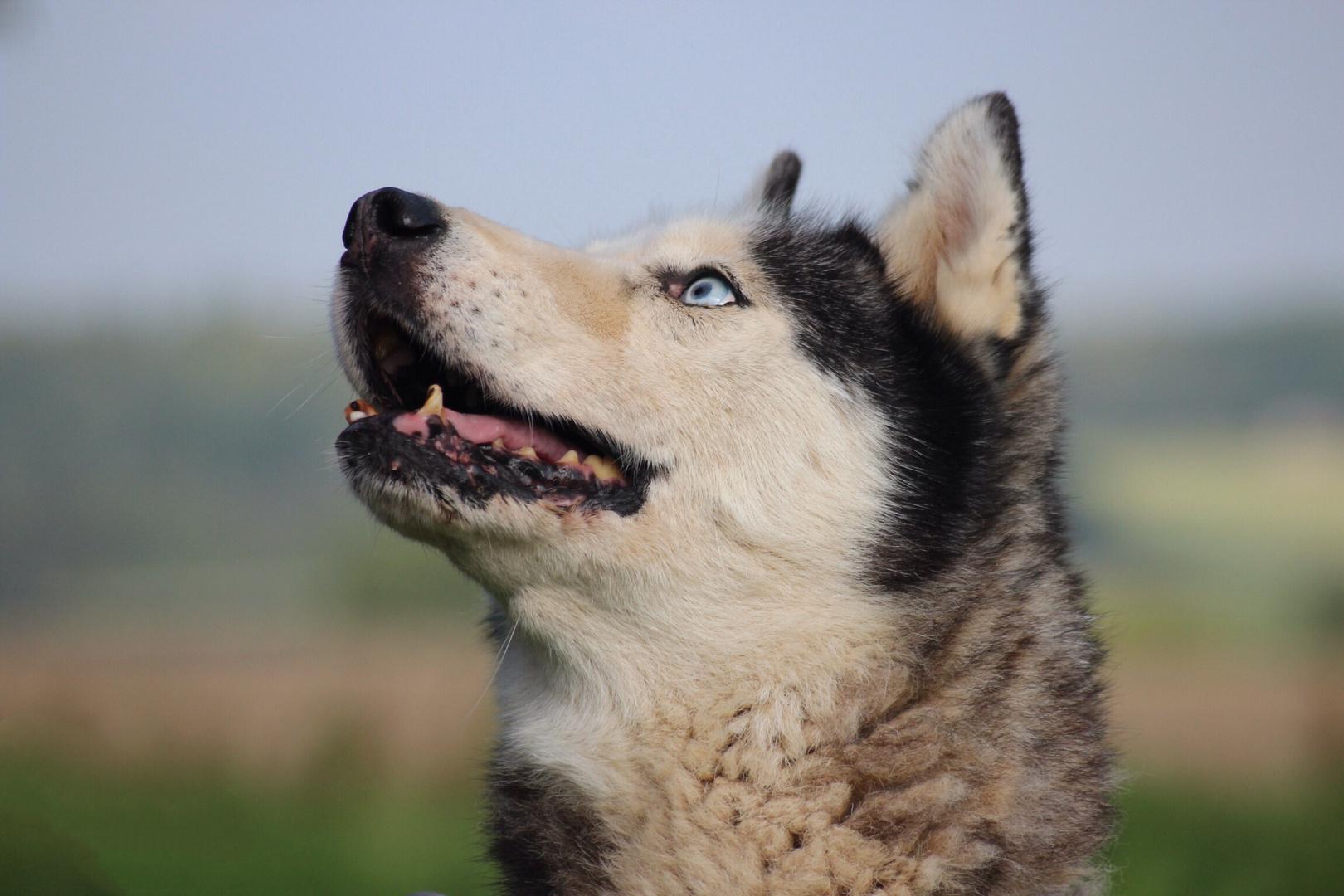 Husky*24