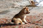 Huskybaby