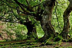 Hutewaldbäume
