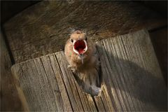 Huuuuunger! Junger Wiedehopf - bald flügge