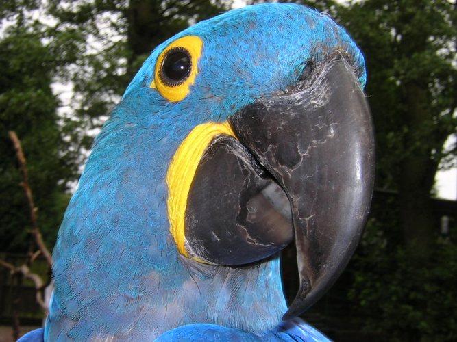 Hyacinthe Macaw