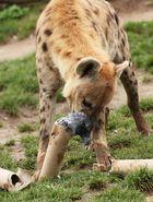 Hyäne frisst tote Taube