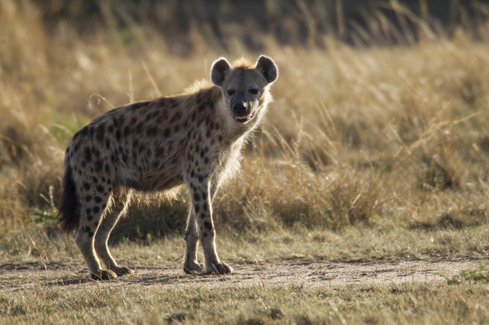 Hyäne im Morgenlicht