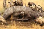 Hyäne kommt aus Nashornkadaver