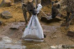 Hyänen beim Auspacken der Nahrung