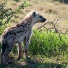 Hyänen Nachwuchs