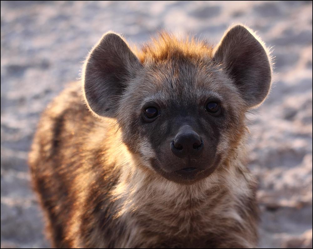 Hyänenkind