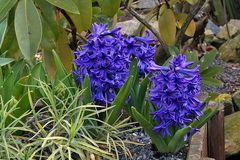 Hyazinte blau