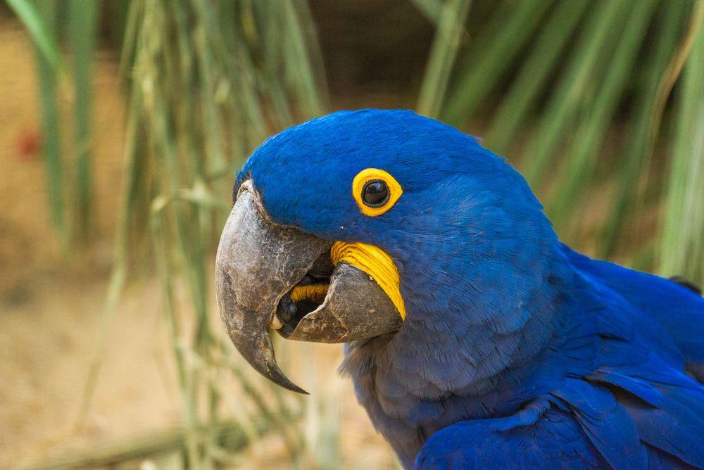 Hyazinth Papagei