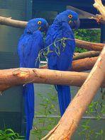 Hyazinth-Aras in Krefelder Zoo