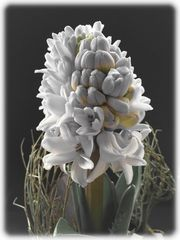 Hyazinthe (Hyacinthus orientalis)