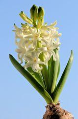 Hyazinthe in weiß