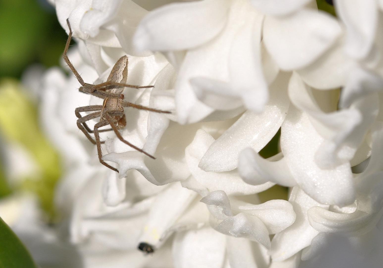 Hyazinthe mit Spinne